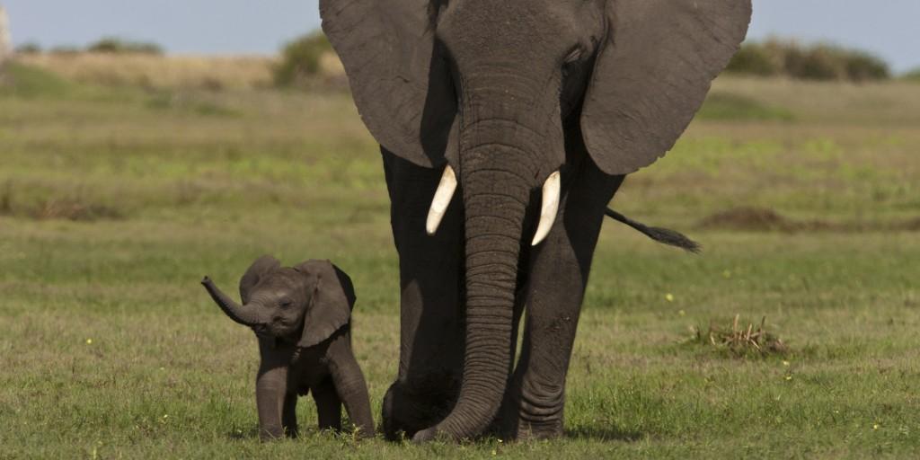 An elephant and calf walk in the Okavango Delta.